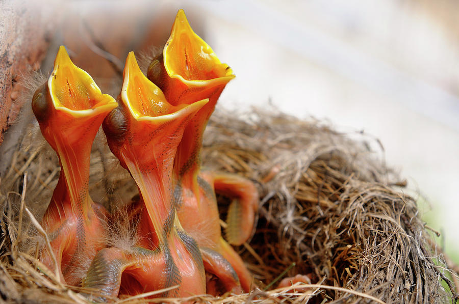 three-hungry-robin-chicks-in-nest-reaching-with-open-mouths-for-reimar-gaertner.jpg